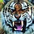 Tigrenumerico
